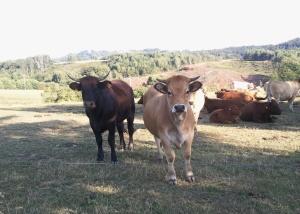 Vaches Gounoulès